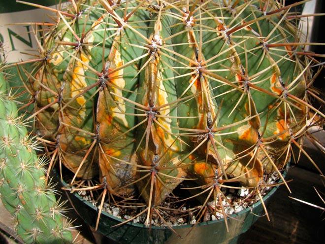 ржавчина кактуса