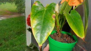 Болезни и вредители, вызывающие повреждения листьев антуриума