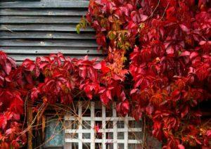 Как выращивать дикий виноград на заборе