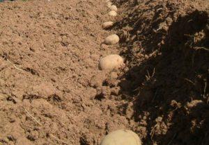 Глубина посадки картофеля – не все так просто