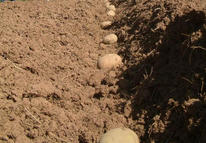 картофель в лунке