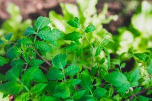 Особенности приготовления и использования помидорной ботвы в саду и огороде