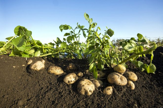 картошка растет