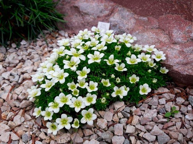 камнеломка в саду