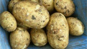 Все о сорте картофеля Адретта