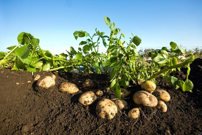 картофель в земле