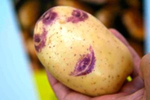 Что нужно знать о картофеле Синеглазка