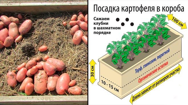 картофель в коробах