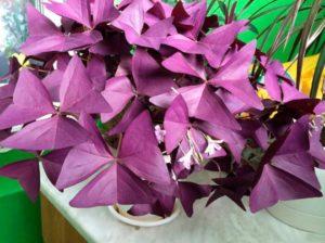 Особенности ухода за кислицей фиолетовой: от посадки до размножения