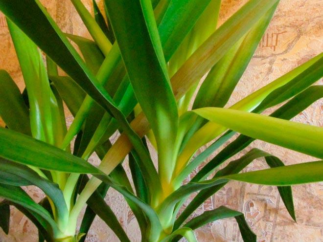 Почему у юкки желтеют и сохнут листья