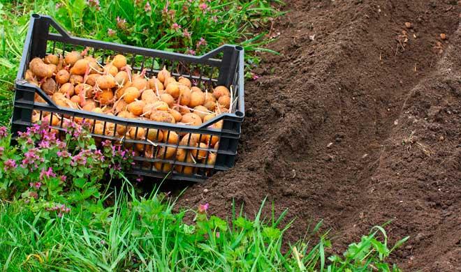 картофель под посадку