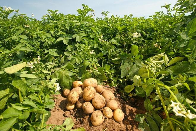 урожай картошки