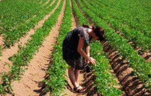 Особенности посадки картофеля по голландской технологии