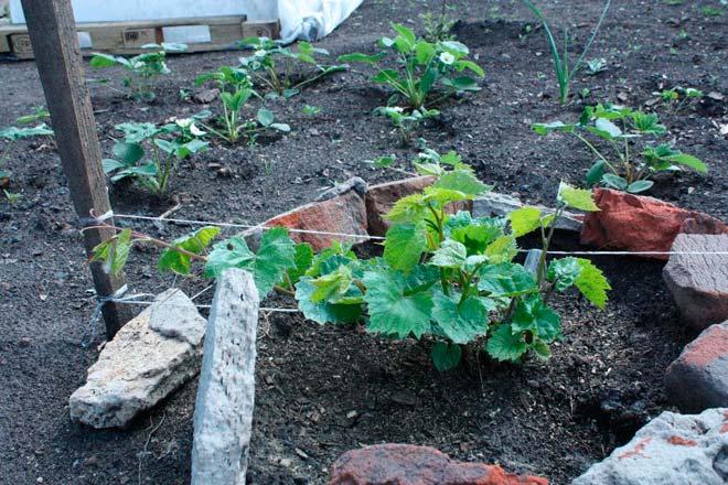 виноград после посадки