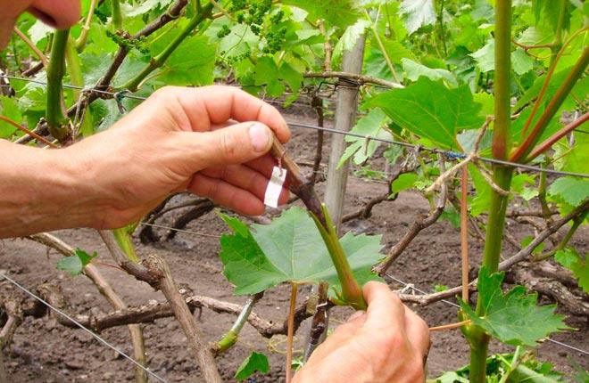 прививание черенка винограда