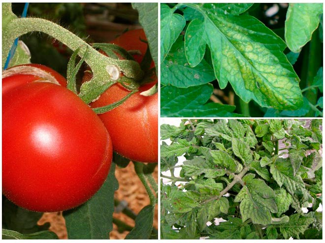 тля на томатах