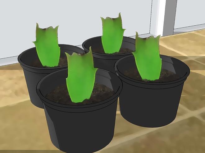укоренение кактуса