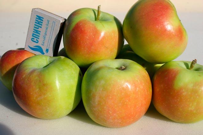 яблоки синап орловский