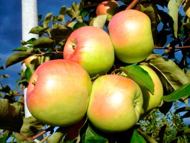 яблоки на ветки