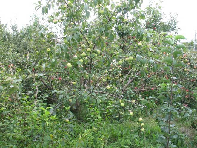 яблоня синап в саду