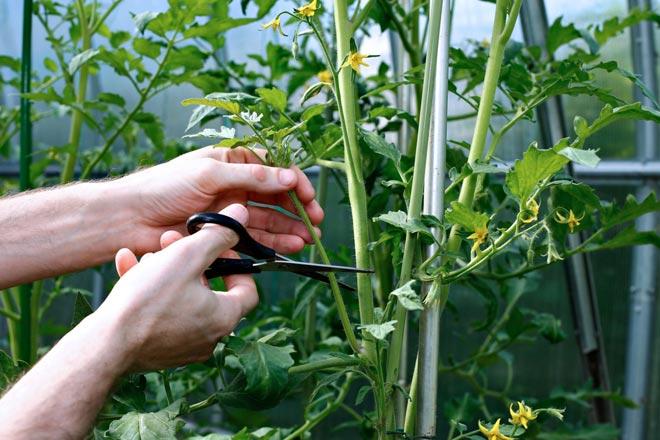 формирование детерминантных томатов