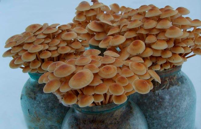 грибы в банке