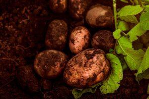 Все о картофеле Рокко