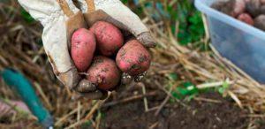 Особенности выращивания картофеля Рябинушка