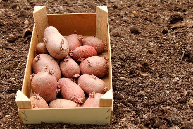 проращивание картошки