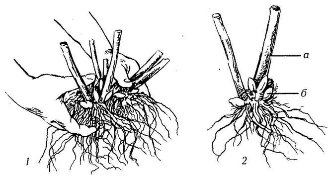 подготовка корней