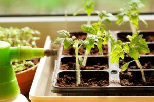 Эффективная подкормка рассады томатов для лучшего роста