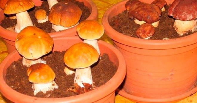 грибы в горшках