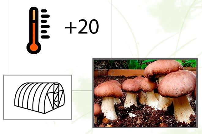 выращивание грибов в теплице