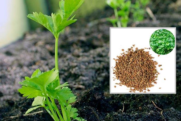 сельдерей из семян