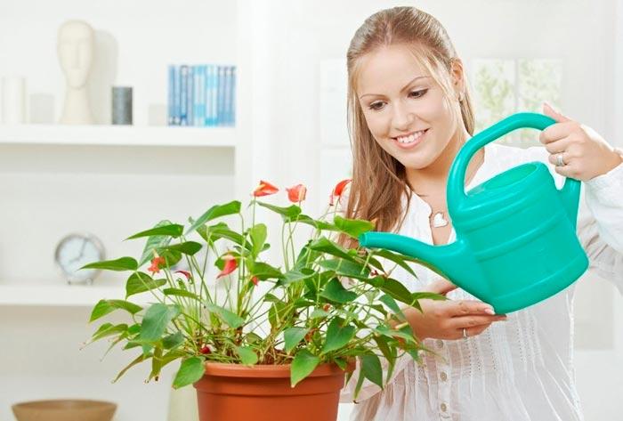 Правильный полив антуриума — залог здоровья и долгого цветения