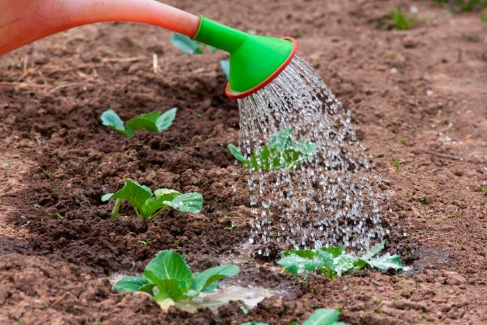 полив саженцев капусты