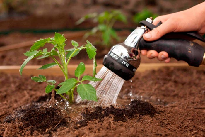 полив томатов в открытом грунте