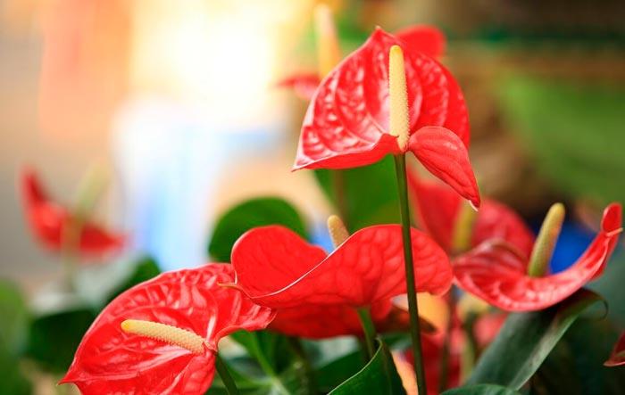цветение антуриума