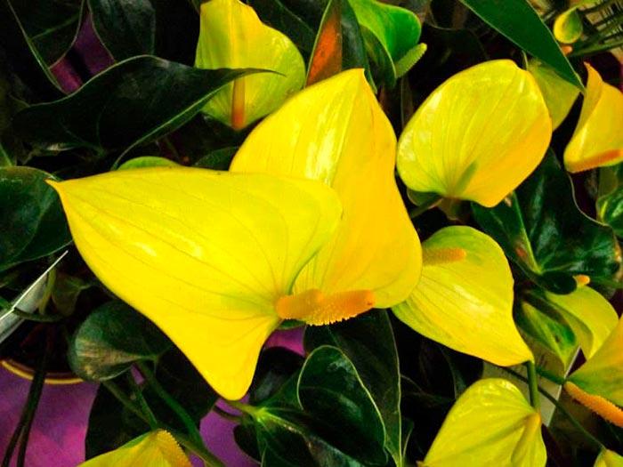желтый антуриум