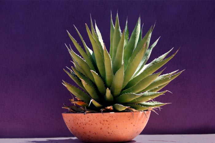 Описание и особенности выращивание агавы
