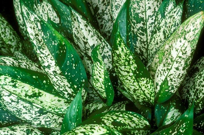Выращивание комнатного цветка аглаонема в домашних условиях