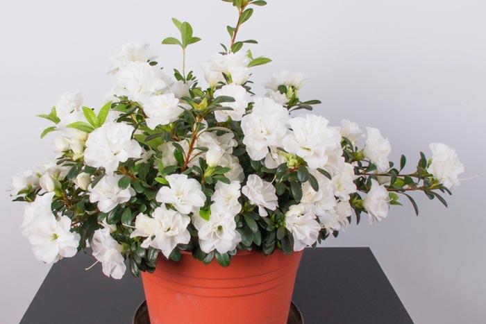 Как вырастить азалию белую: особенности содержания в домашних условиях