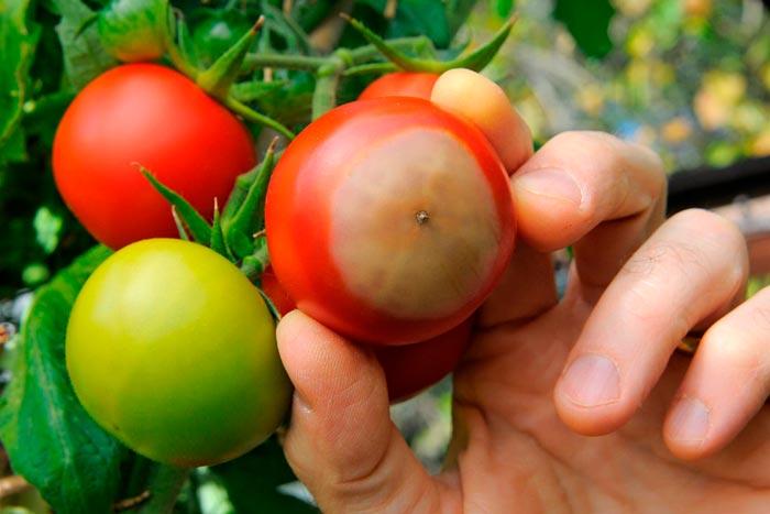 томат с гнилью