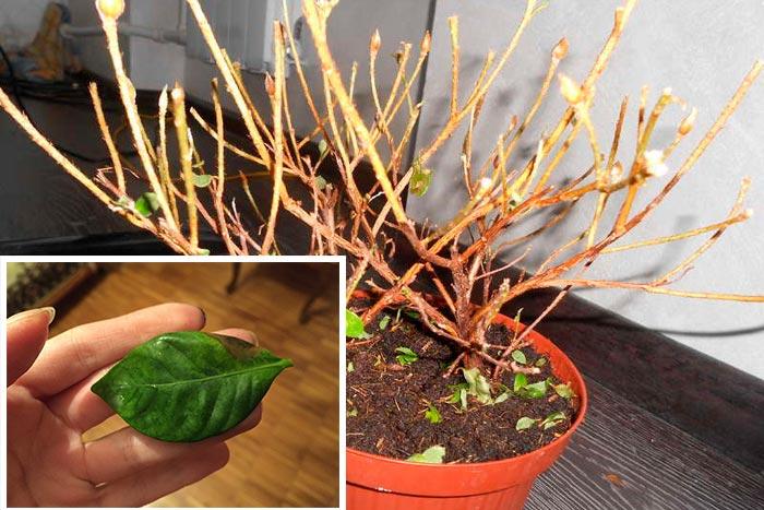 опадение листьев азалии