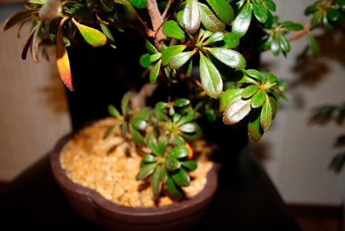 Основные причины отсутствия цветения у азалии