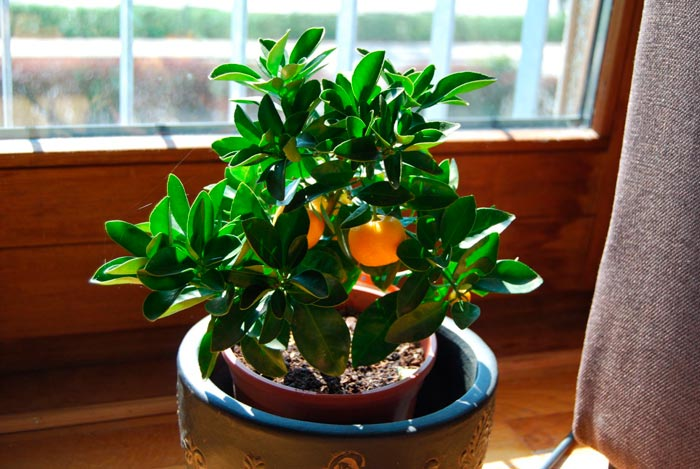 цитрусовое комнатное растение