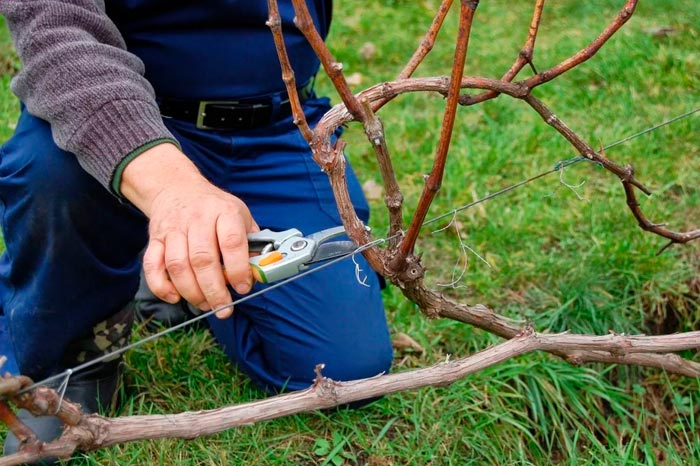 Как правильно обрезать виноград весной