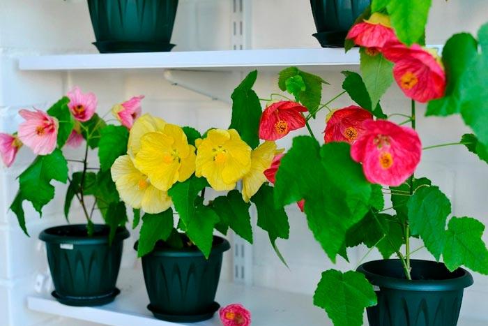 Абутилон – особенности выращивания домашнего клена