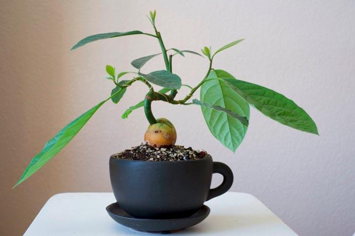 авокадо в горшке