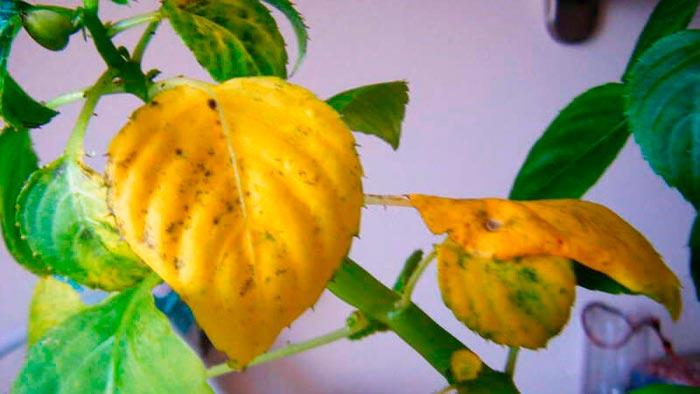 желтеют листья бальзамина